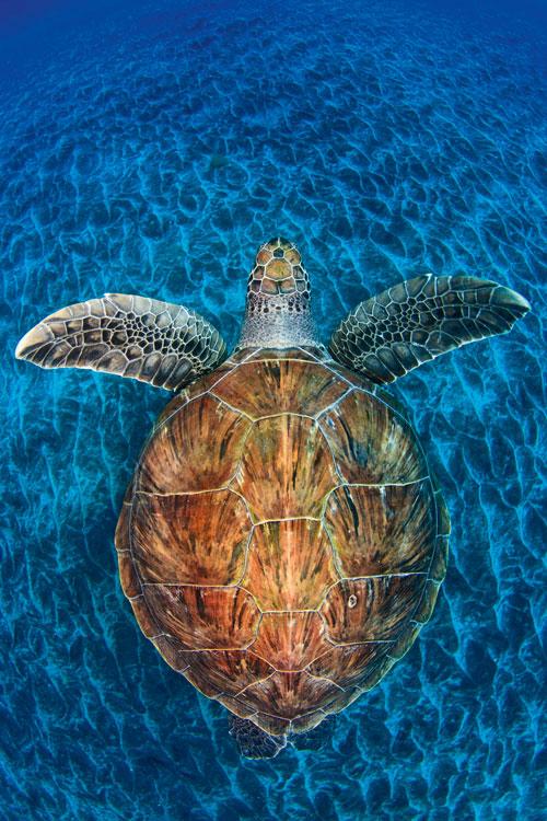 """Schildkröte im Meer, Motiv der Ausstellung """"Wildlife Photographer of the year"""""""