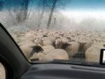 Schafe am Mundenhof