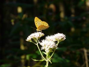 Schmetterling bei Freiburg