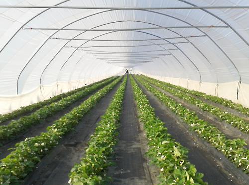 Erdbeeren und Spargel werden dieses Jahr teurer.