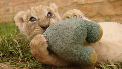 Die Löwenbabys auf der Zuchtfarm werden sehr früh von ihren Müttern getrennt und auf Menschen geprägt.